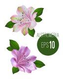 Grupo de duas flores do alstromeria Flowe branco e cor-de-rosa do alstromeria Foto de Stock Royalty Free