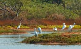 Grupo de egrets blancos en la c Foto de archivo libre de regalías