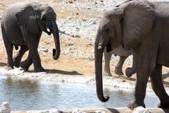 Grupo de elefantes africanos Fotografía de archivo