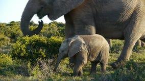 Grupo de elefantes africanos con el joven metrajes