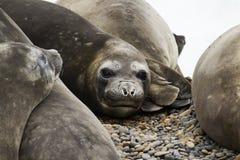 Grupo de elefantes de mar Imagens de Stock Royalty Free