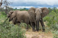 Grupo de elefantes en un día nublado en el parque foto de archivo libre de regalías