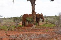 Grupo de elefantes, Kenya Fotos de Stock