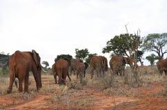 Grupo de elefantes, Kenya imagens de stock