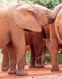 Grupo de elefantes novos Fotos de Stock Royalty Free