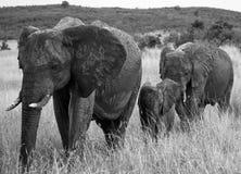Grupo de elefantes que caminan en la sabana África kenia tanzania serengeti Maasai Mara Fotos de archivo libres de regalías