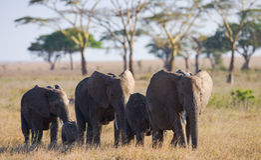 Grupo de elefantes que caminan en la sabana África kenia tanzania serengeti Maasai Mara Imagen de archivo