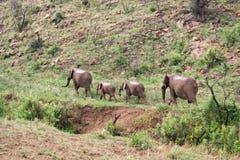 Grupo de elefantes que caminan a lo largo de un río seco, Suráfrica Fotos de archivo