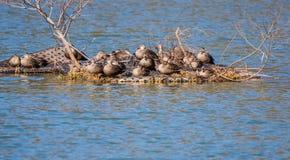 Grupo de enfeitar-se dos patos Fotografia de Stock