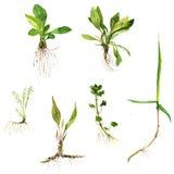 Grupo de ervas do desenho da aquarela com raizes ilustração do vetor