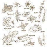 Grupo de ervas e de especiarias culinárias tiradas mão do aroma ilustração stock