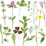 Grupo de ervas e de folhas do desenho da aquarela ilustração royalty free