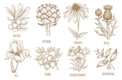 Grupo de ervas médicas ilustração stock