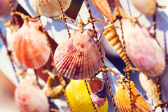Grupo de escudos do mar Foto de Stock