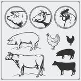 Grupo de etiquetas e de emblemas do açougue: galinha, carne de porco e carne Estilo do vintage Ilustração da vaca, da galinha e d Imagem de Stock