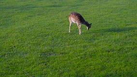 Grupo de familia de los ciervos que pasta comiendo la hierba verde de alimentación almacen de video