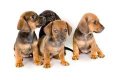 Grupo de filhotes de cachorro do dachshund fotografia de stock royalty free