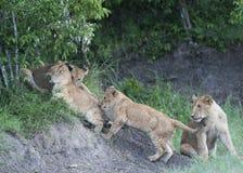 Grupo de filhotes de leão que tentam escalar rochas foto de stock royalty free