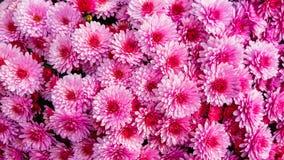 Grupo de fim cor-de-rosa da flor da flor do crisântemo acima foto de stock royalty free
