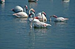 Grupo de flamencos encaramados en el agua Imagenes de archivo