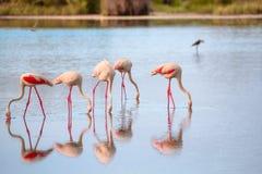 Grupo de flamencos que comen en la laguna Foto de archivo