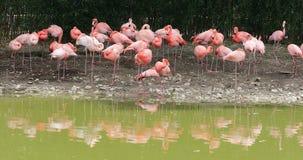 Grupo de flamencos rosados con la reflexión del agua en el parque zoológico metrajes