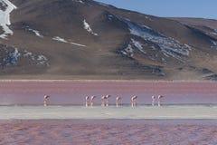 Grupo de flamencos rosados en el agua colorida de Laguna Colorada, una parada popular en el Roadtrip a Uyuni Salf plano, Bolivia Imagenes de archivo
