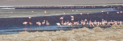 Grupo de flamencos rosados en el agua colorida de Laguna Colorada, una parada popular en el Roadtrip a Uyuni Salf plano, Bolivia Fotos de archivo libres de regalías
