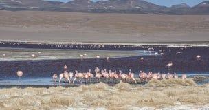 Grupo de flamencos rosados en el agua colorida de Laguna Colorada, una parada popular en el Roadtrip a Uyuni Salf plano, Bolivia Foto de archivo libre de regalías