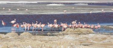 Grupo de flamencos rosados en el agua colorida de Laguna Colorada, una parada popular en el Roadtrip a Uyuni Salf plano, Bolivia Foto de archivo