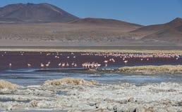 Grupo de flamencos rosados en el agua colorida de Laguna Colorada, una parada popular en el Roadtrip a Uyuni Salf plano, Bolivia Imagen de archivo libre de regalías