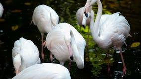 Grupo de flamencos rosados en el parque zoológico almacen de metraje de vídeo