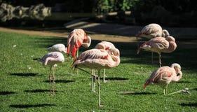 Grupo de flamencos rosados en un parque zoológico Fotografía de archivo libre de regalías