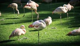 Grupo de flamencos rosados en un parque zoológico Foto de archivo libre de regalías