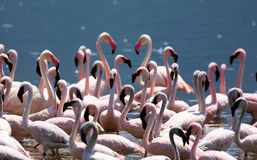 Grupo de flamingo cor-de-rosa Fotografia de Stock Royalty Free