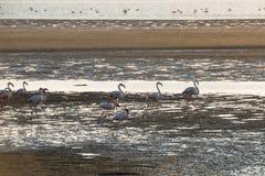 Grupo de flamingos cor-de-rosa e brancos no raso de Oceano Atlântico Imagens de Stock