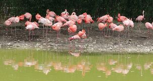 Grupo de flamingos cor-de-rosa com a reflexão da água no jardim zoológico filme