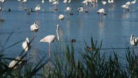 Grupo de flamingos cor-de-rosa em 4k filme