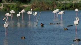 Grupo de flamingos cor-de-rosa em 4k video estoque