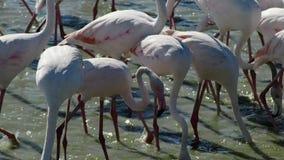 Grupo de flamingos cor-de-rosa em 4k vídeos de arquivo