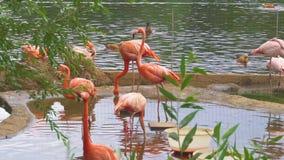 Grupo de flamingos cor-de-rosa na água filme