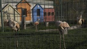 Grupo de flamingos cor-de-rosa no jardim zoológico filme