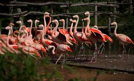 Grupo de flamingos do sibilo Foto de Stock