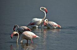 Grupo de flamingos empoleirados na água Imagem de Stock Royalty Free