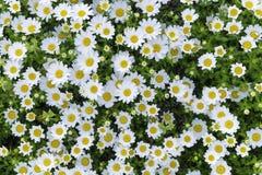 Grupo de flor amarilla blanca Foto de archivo libre de regalías