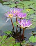 Grupo de flor de loto Foto de archivo libre de regalías