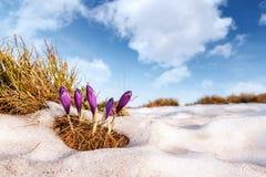 Grupo de flor do açafrão na grama Imagem de Stock