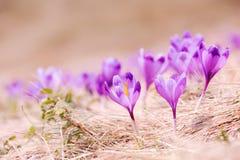 Grupo de flor do açafrão na grama Imagem de Stock Royalty Free