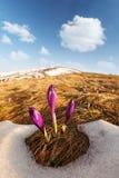 Grupo de flor do açafrão na grama Imagens de Stock Royalty Free