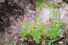 Grupo de flor púrpura bloming en la selva tropical Fotos de archivo libres de regalías